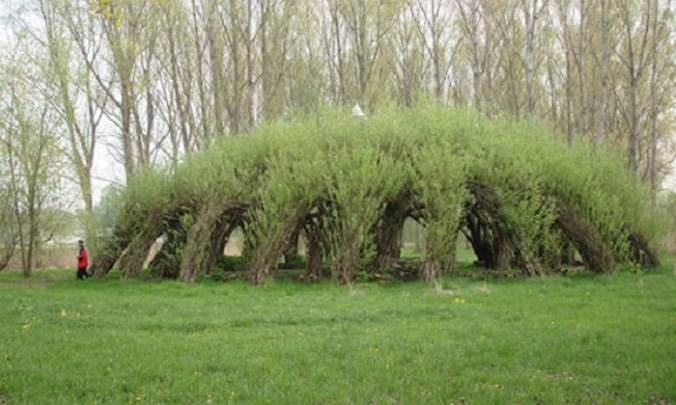 living willow hedge